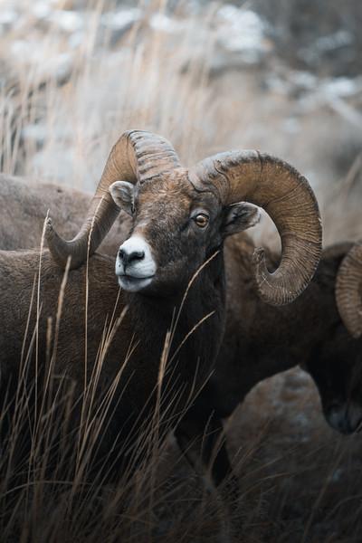 Big Horn Sheep Ram Portrait