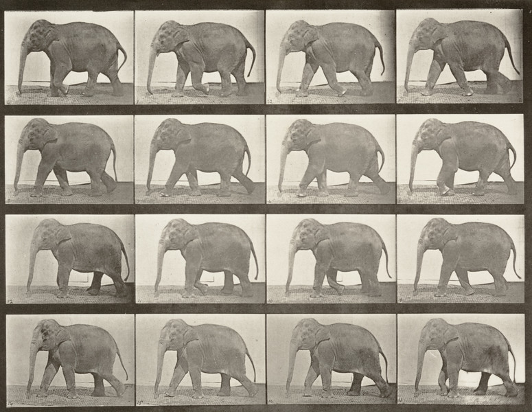 Elephant walking (Animal Locomotion, 1887, plate 732)