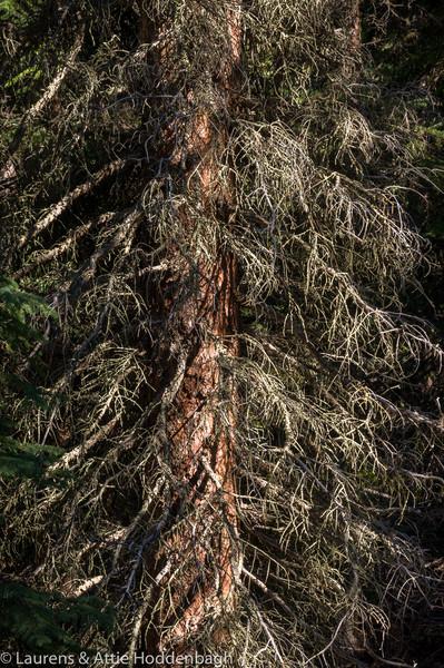 Tree's in Jasper Nat'l Park, Alberta, CA