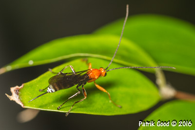 White Flank Orange Braconid Wasp