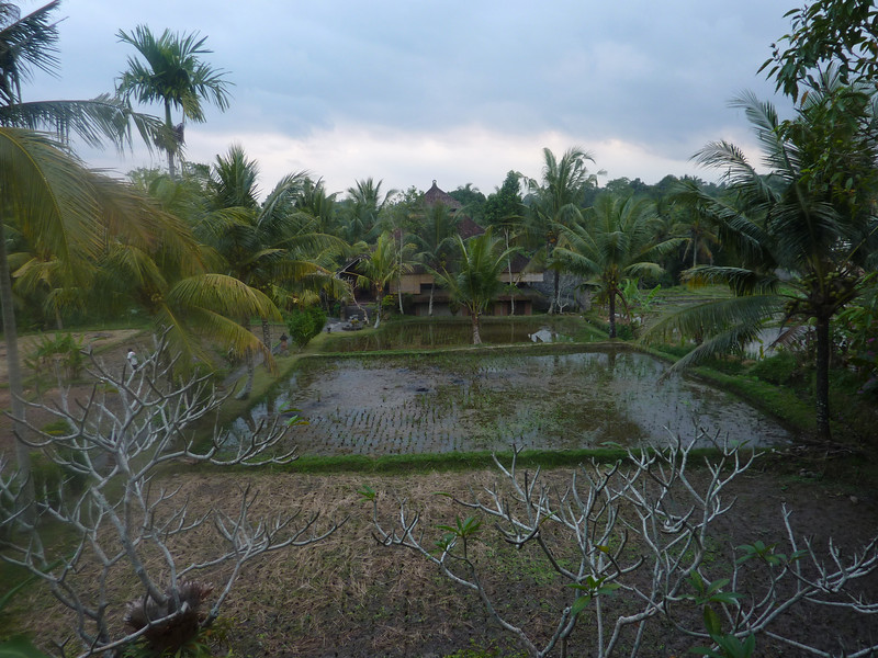 The back garden is a rice field, visible from our room window.