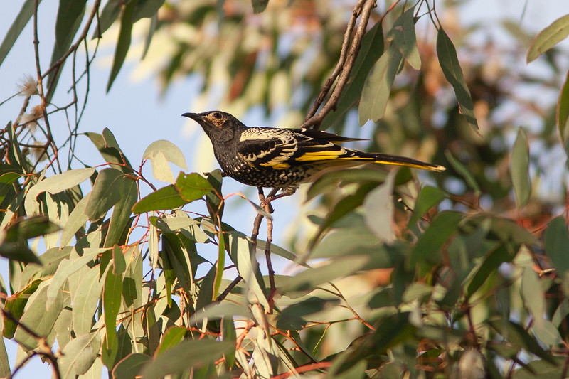 Regent-Honeyeater_MG_8474.jpg