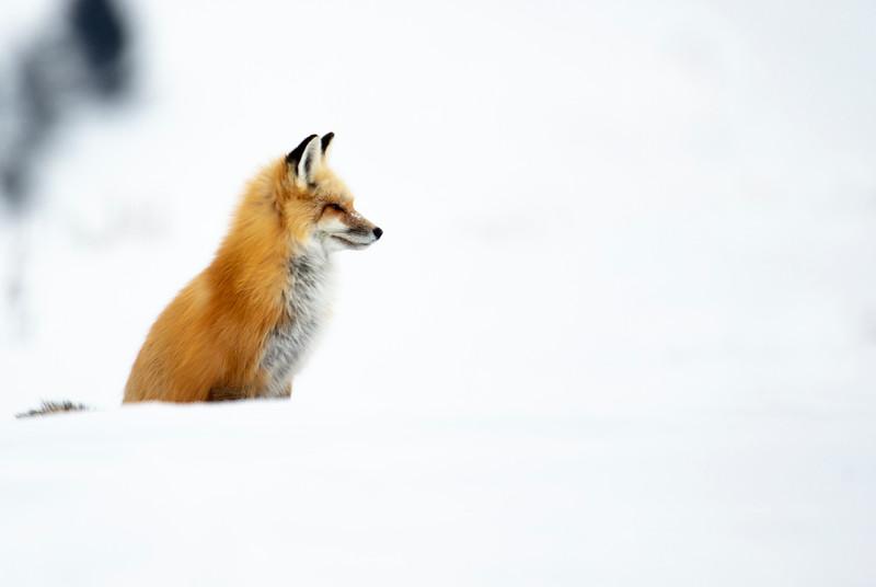 387A9746 Red fox at Hayden valley close.jpg