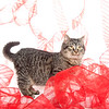 Cute tabby cat with red ribbon on a white background