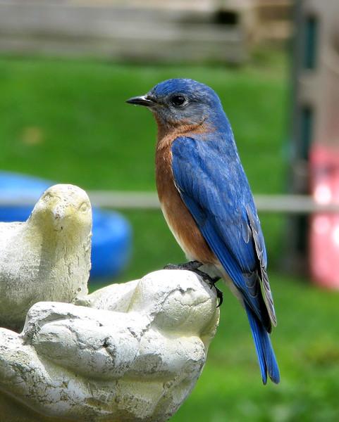 bluebird_0044.jpg
