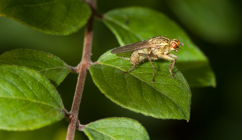 Fly on snowberry (symphoricarpos chenaultii Hancock) leaf.
