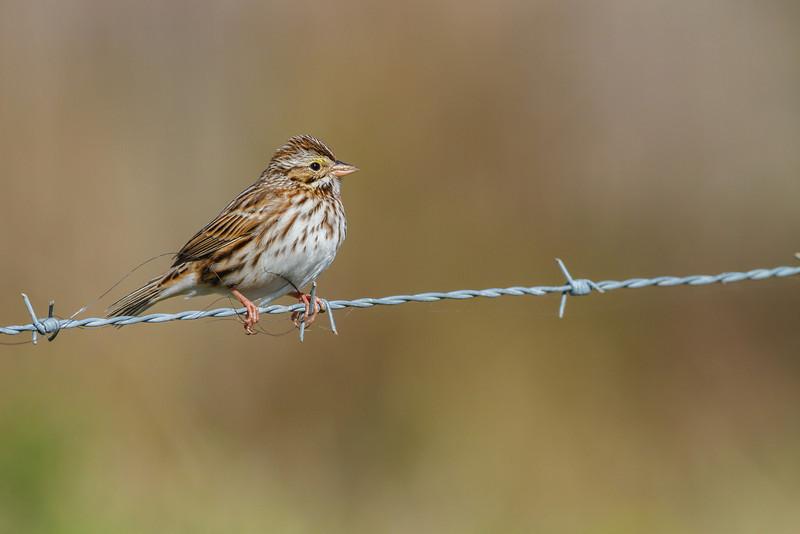 Savannah Sparrow, Joe Overstreet Landing