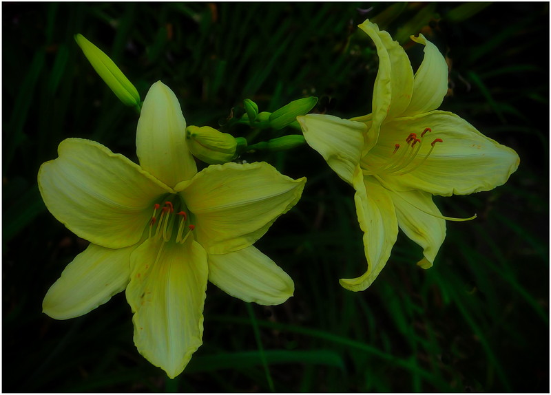 Bob Walling Day lilies.jpg