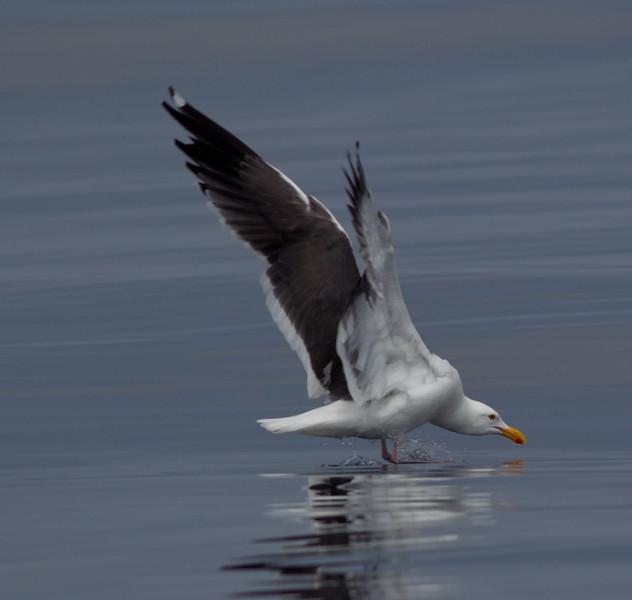 Western Gull San Diego Waters 2011 05 06-1.CR2