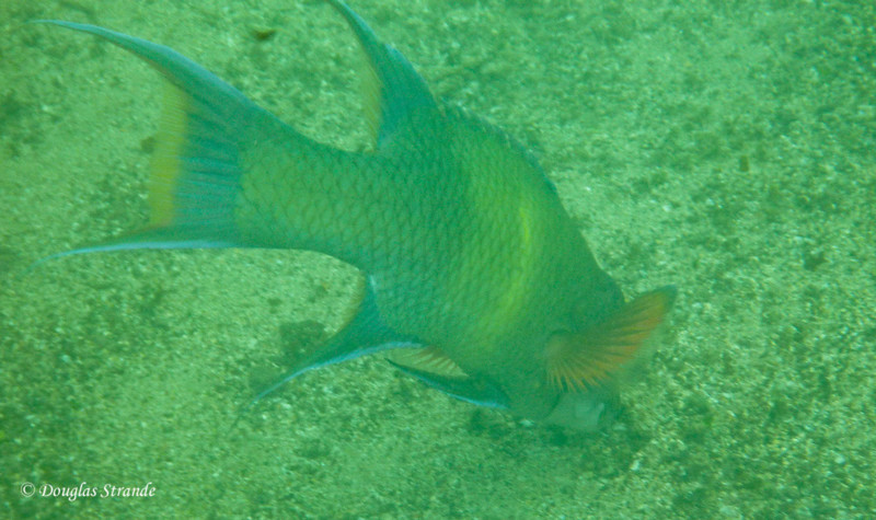 Snorkeling at Cormorant Point, Floreana:  Mexican Hogfish (?)