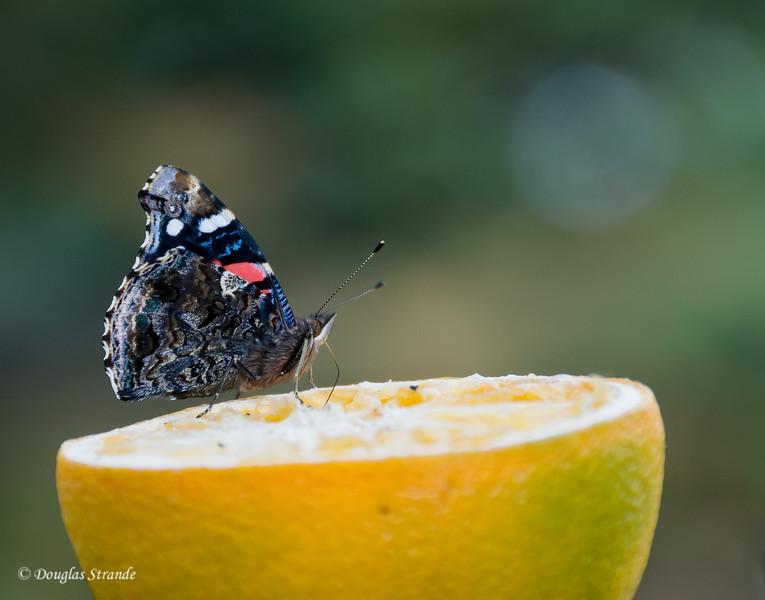 2012  Butterfly on Orange