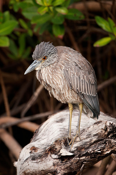 Night-Heron - Yellow-crowned - juvenile - Ding Darling NWR - Sanibel Island, FL