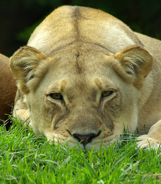 Lioness-Ja22,1.jpg