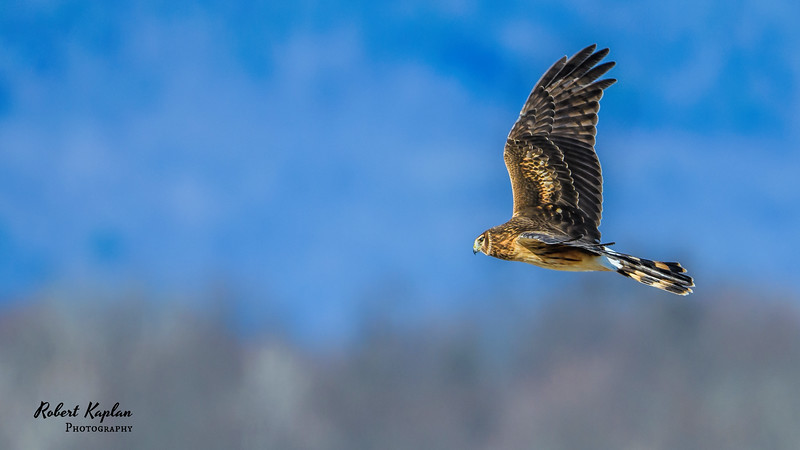 Northern Harrier Wallpaper-7380.jpg