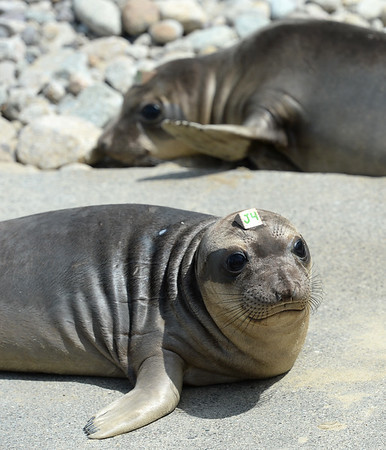 . Young northern elephant seals sun themselves on a concrete ramp at Chimney Rock in West Marin near Inverness, Calif. on Thursday, May 10, 2018. They were among 14 pinnipeds released after being rehabilitated at the Marine Mammal Center in Sausalito.  (Alan Dep/Marin Independent Journal)