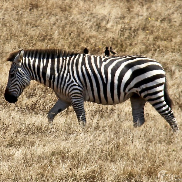 Hurst Castle Zebra