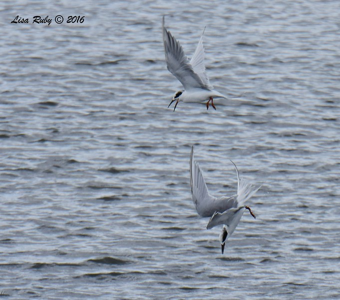Forster's Terns having a spat  - 10/4/2016 - Robb Field