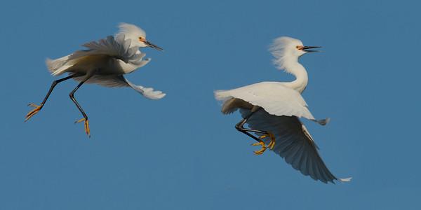 Egrets and Heron