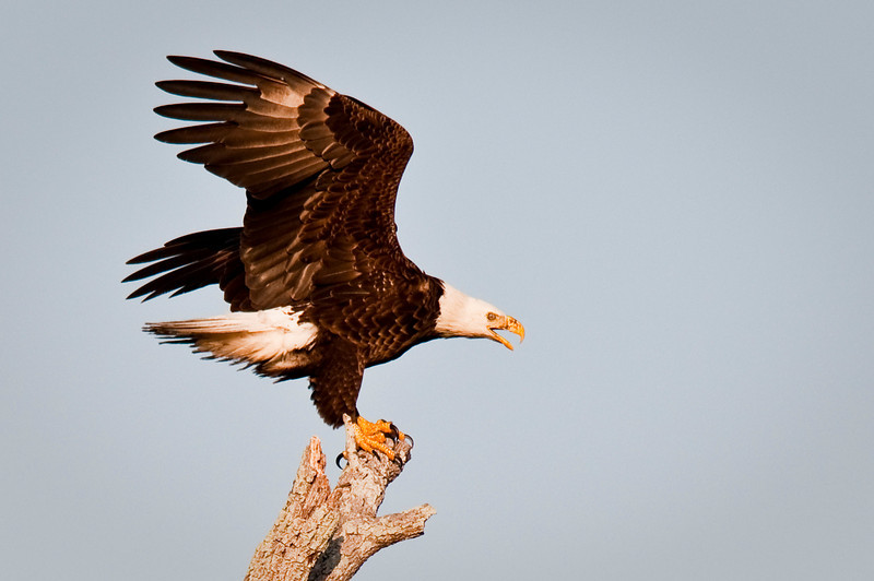 Bald Eagle Kings Highway  Kissimmee, Florida © 2011