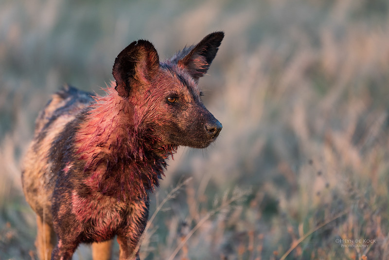 African Wild Dog, Savuti, Chobe NP, Botwana, May 2017-7.jpg