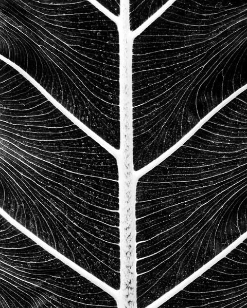 Sarah-Marino-BW-Leaf-Veins-2-1200px.jpg