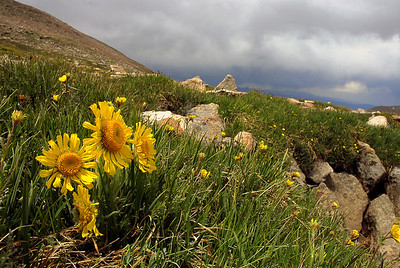 Wildflowers in Estas Park, Loveland Pass, and Mt Evans, CO