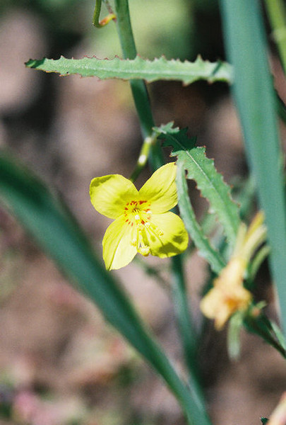 4/3/05 California Evening Primrose (Camissonia californica). Grotto Trail, Circle X Ranch, Santa Monica Mountains National Recreation Area, Ventura County, CA