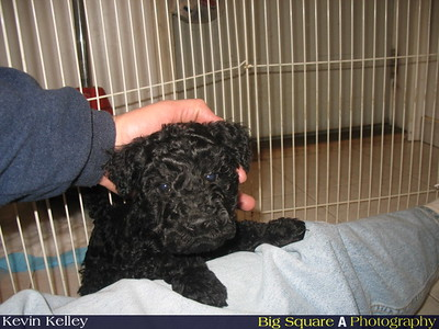 """Janey"" - A Kerry Blue Terrier"