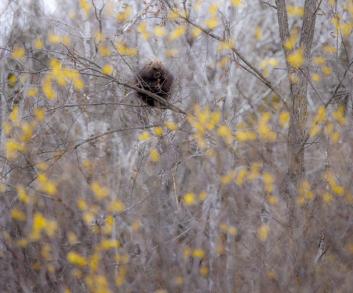 Porcupine Nichols Lake Road Virtually Live 16 S2E1 April 14 19 2021 Sax-Zim Bog MN  IMGC6096.jpg