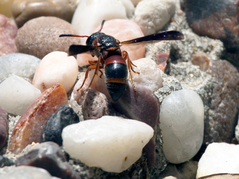 Another kind of wasp foraging among the pebbles.