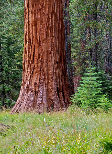 Young and Old, Sequoia National Park, California
