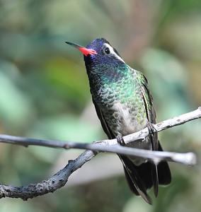 Rare Hummingbirds Arizona