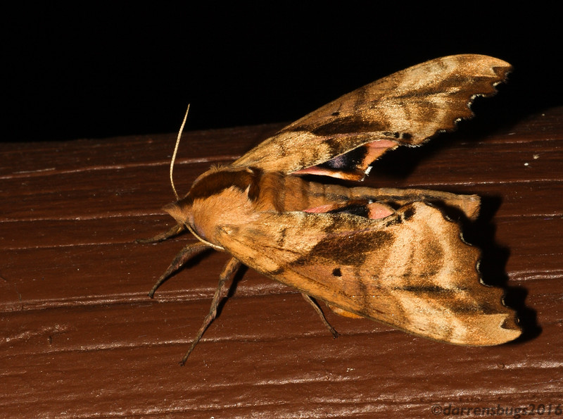 Blinded Sphinx Moth, Paonias excaecata, from Wisconsin.