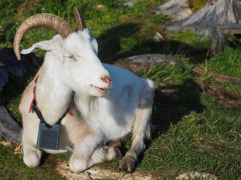 Happy Norwegian goat