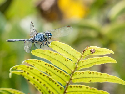 Rainforest Dragonflies
