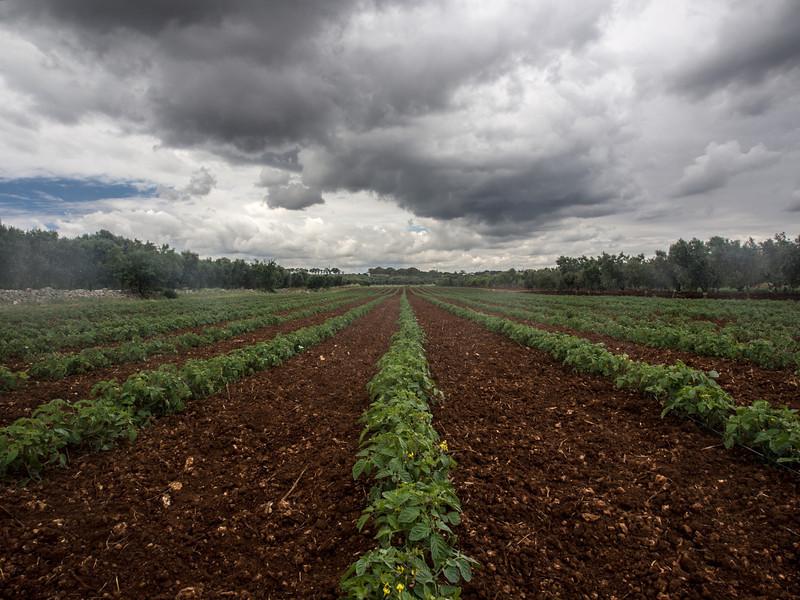 calemone tomatoe field.jpg