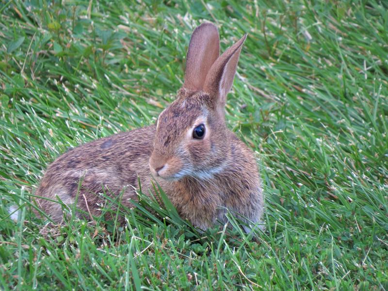sx50_rabbit_fauna_077.jpg