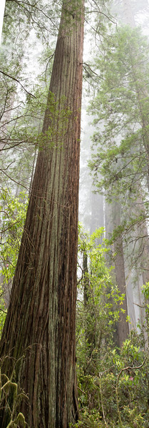 redwoodsFin29-1207.jpg