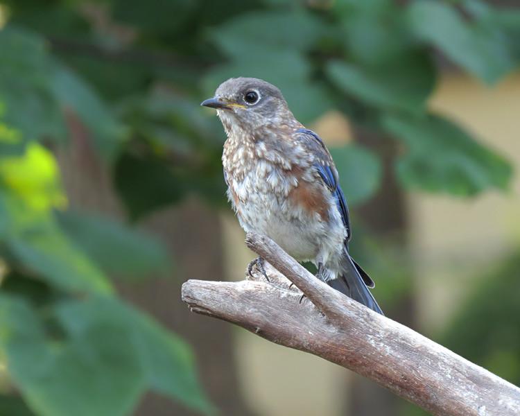 sx50_bluebird_fledgling_boas_moult_263.jpg