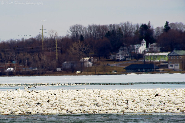 Thousands of Snow Geese on the ice of Cayuga Lake near Seneca Falls, New York.