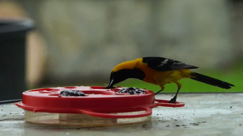 Male Hooded Oriole eating Jelly 2
