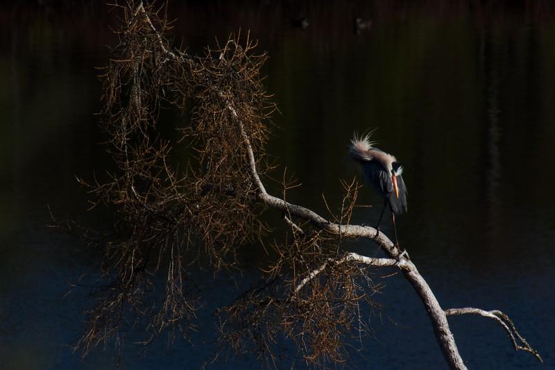 Great Blue Heron Island Lk Rookery Duluth MN IMG_0056427.jpg