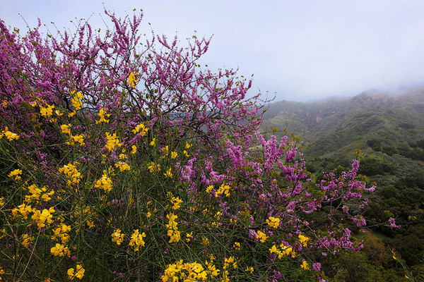 Red bud and the invasive scotch broom growing in Zuma Canyon, Santa Monica Mountains National Recreation Area.