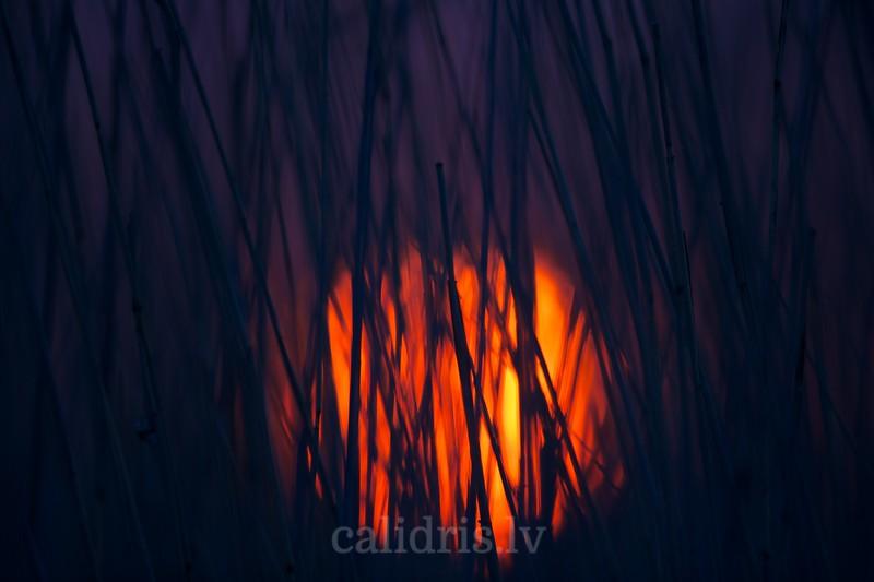Sun sets behind reeds