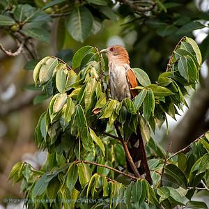 Eekhoornkoekoek; Piaya cayana; Squirrel cuckoo; Piaye écureuil