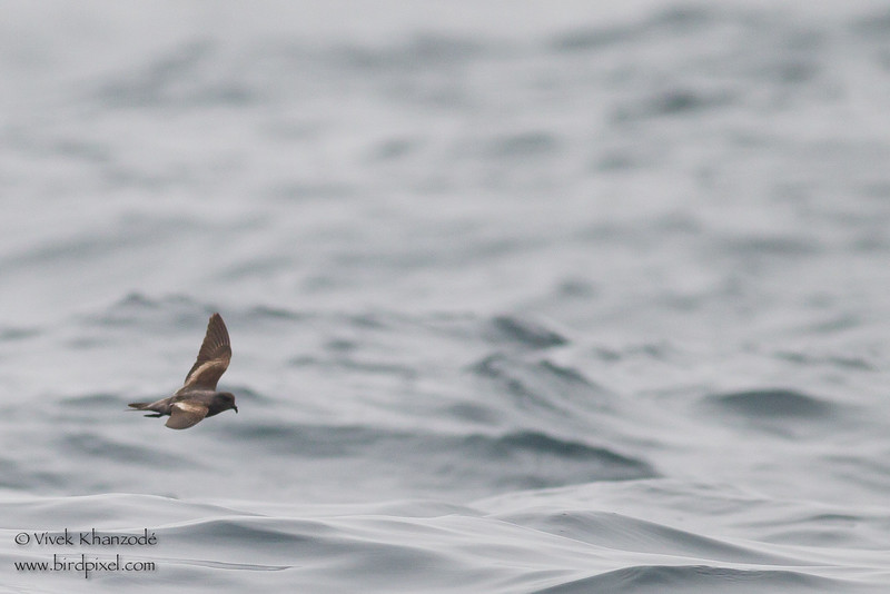 Ashy Storm-Petrel - Record - Off Half Moon Bay, CA, USA