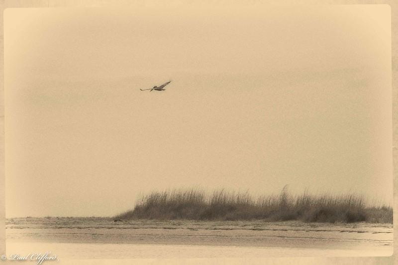 Pelican over Shell Key 5160 P.jpg
