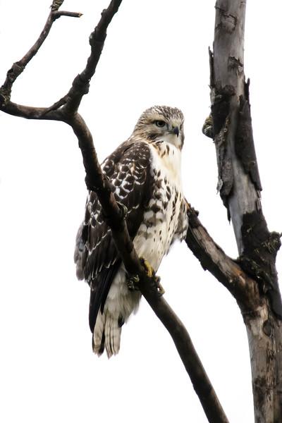 Hawk - Broad-winged - Lake County Road 7 - Finland, MN