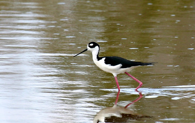 Wading Birds - Misc