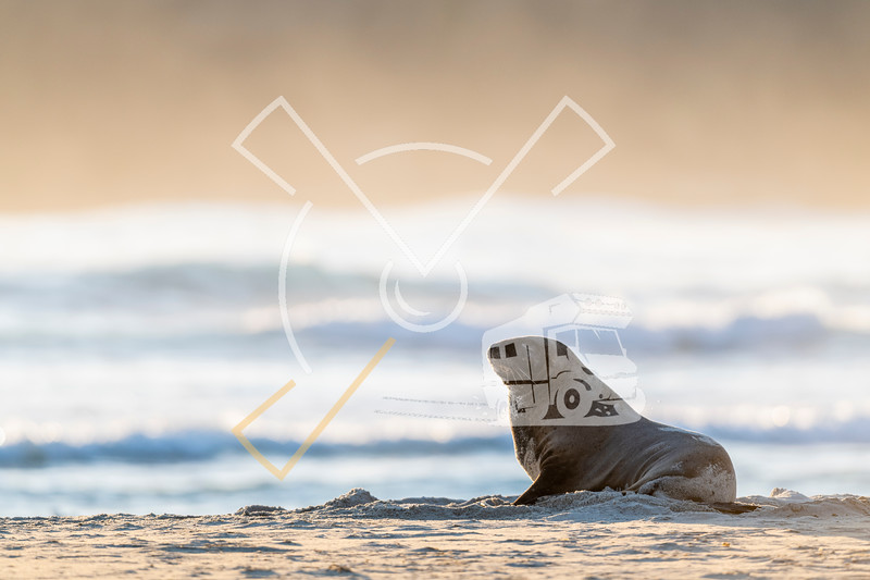 Portrait of female New Zealand Sea Lion sitting on the sand of Sandfly beach